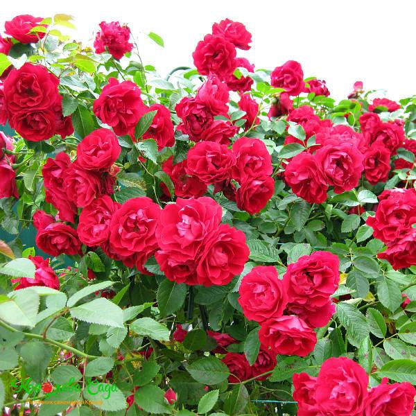 роза симпатия плетистая фото такие смешные